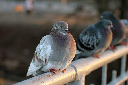 beak doves: Pigeons on the bridge in autumn park.