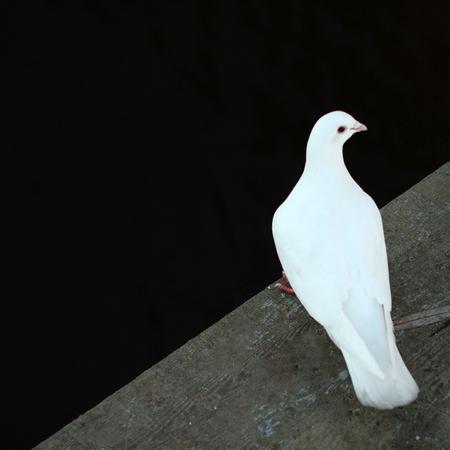 White pigeon on the bridge in autumn park. Banco de Imagens