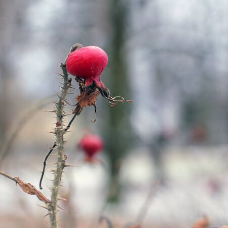 The last remaining wild rose berries on the bush in autumn park. Banque d'images