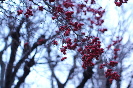 Bunches of red berries on a tree in autumn.