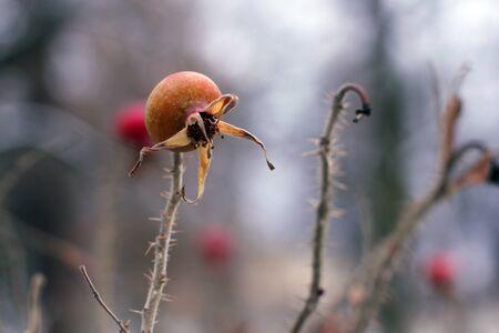 The last remaining wild rose berries on the bush in autumn park. Banco de Imagens