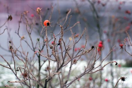 The last remaining wild rose berries on the bush in autumn park. Stockfoto