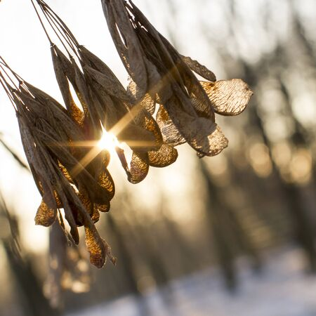 The sun shines through the dry leaves on the tree. Winter landscape.