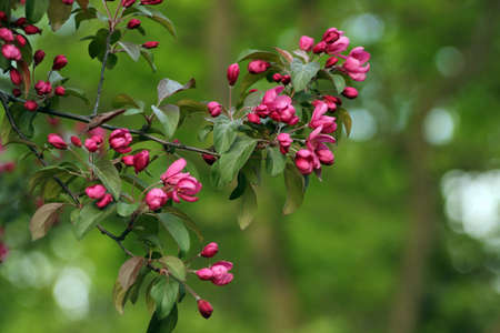 Pink flowers on a tree in Spring Park. Spring sunny day. Banco de Imagens
