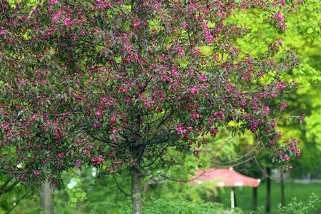 Flowering tree with bright pink flowers. Spring mood. Banco de Imagens