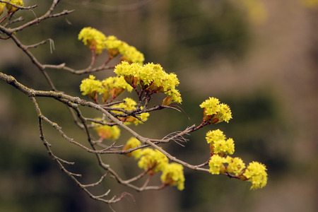 Bright yellow flowers on a tree in spring. Spring landscape. Banco de Imagens