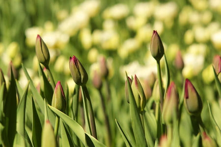 The buds of tulips in bright sunlight. Spring, a sunny day, field of flowers, sunny. Stockfoto