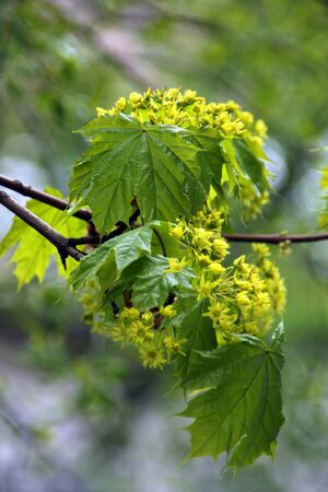 Spring trees with young leaves. Maple spring. Banco de Imagens