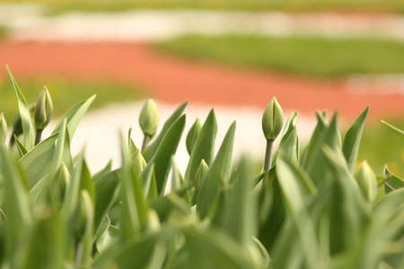 Green tulips in the city park. Spring landscape.