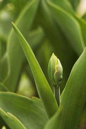 Green tulip bud close-up. Spring flowering tulips. Stockfoto