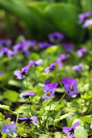 Pansies - beautiful and delicate flowers. Spring landscape - pansy on a flowerbed in the park. Banco de Imagens