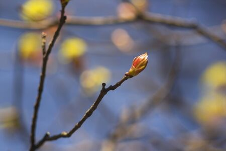 Spring mood. Bright bud on a tree branch in the spring sunny day.