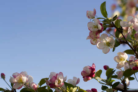 Spring mood, apple tree in bloom. Background of flowers at the edge of the frame against the blue sky. Stockfoto