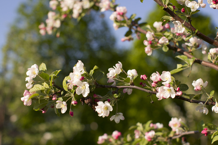 Beautiful flowers on a background of green garden and the blue sky. Spring mood, apple tree in bloom.