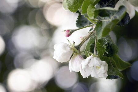 Spring garden - apple tree in bloom. Beautiful white flowers and buds on the branches of the apple tree.