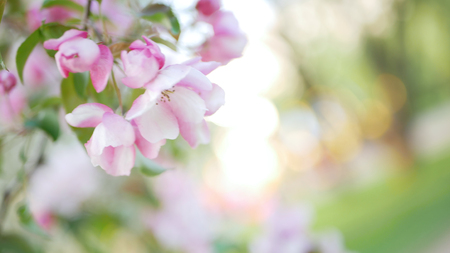 Spring, a sunny day, a flourishing garden. White-pink flowers on an apple tree at the time of flowering. Spring mood.