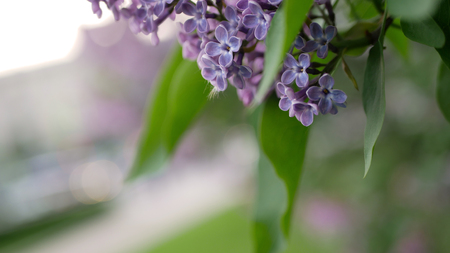 Lilac in a spring park. Blooming lilac with lush and beautiful flowers on the background of the city street.