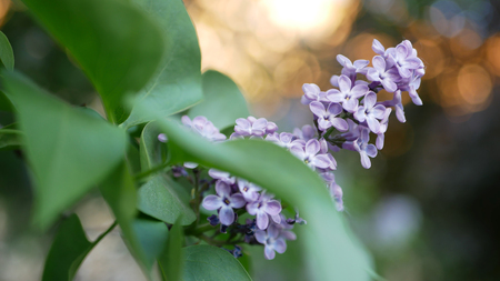 Lilac in a spring park - a branch of lilac in the rays of the setting sun. Spring mood.