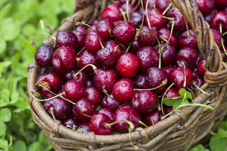 cherries in a large wicker basket Reklamní fotografie