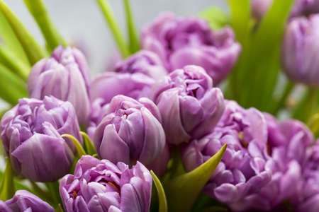 bouquet of spring purple tulips in the sunlight