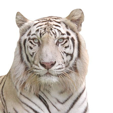 White Tiger. photo