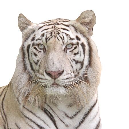 White Tiger. photo