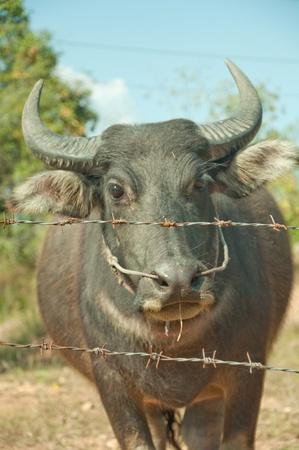 buffalo Barb photo