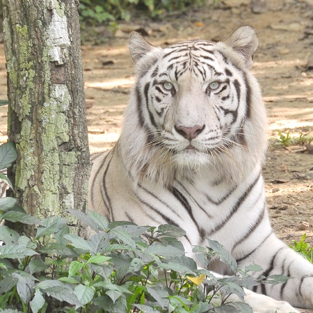 White Tiger  Stock Photo - 12742912