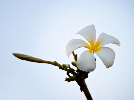 Frangipani flowers, white, yellow on the tree  photo