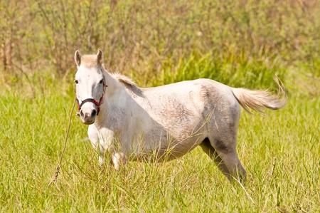 mongolia horse: Thai white horse breed of Mongolia