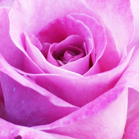 The specific features pink roses.  photo