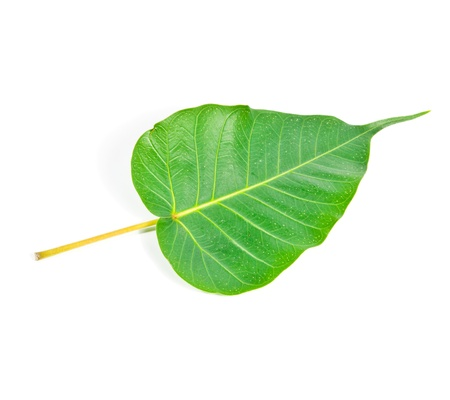 Bodhi leaf on a white background.