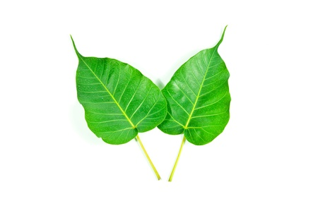 Bodhi leaf on a white background.  Stock Photo
