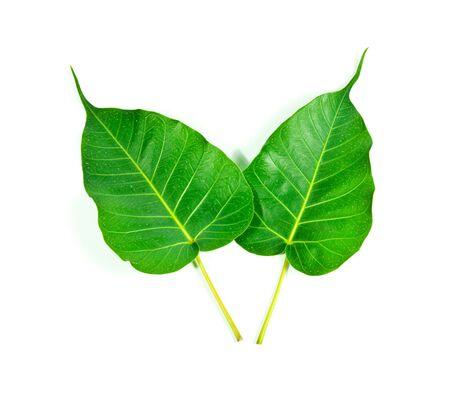 Bodhi leaf on a white background. Stock Photo - 13024586