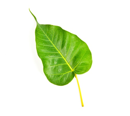 Bodhi leaf on a white background. Stock Photo - 13024644