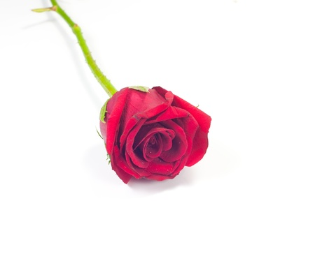 Red roses on a white background  Stock Photo - 13092330