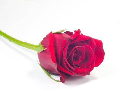Red roses on a white background  Stock Photo - 15230847