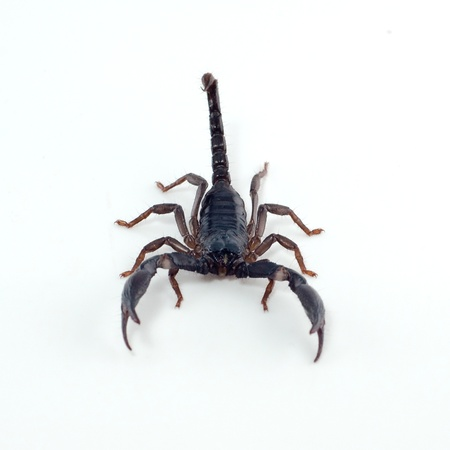 Back scorpion isolated on white