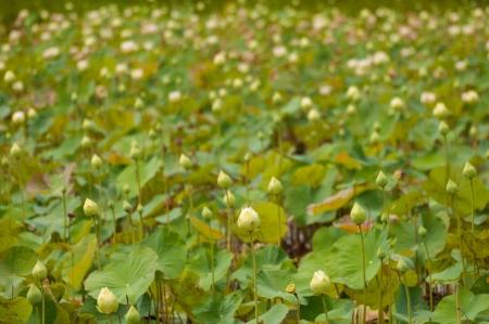 Green lotus buds.