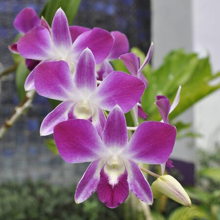 Beautiful purple orchid - phalaenopsis photo