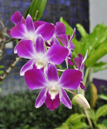 orchid branch: Beautiful purple orchid - phalaenopsis