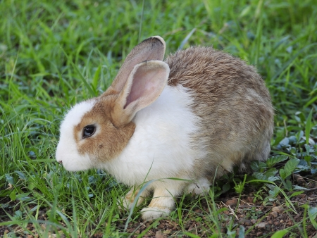 Brown and white bunny rabbit.