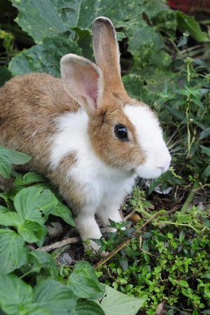 Brown and white bunny rabbit  photo