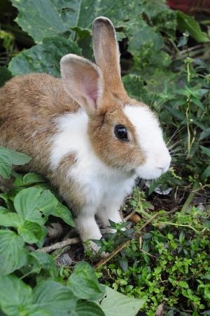 young rabbit: Brun et blanc de lapin