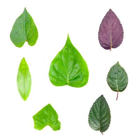Green tree leaves summer collection.nature collection isolated white background