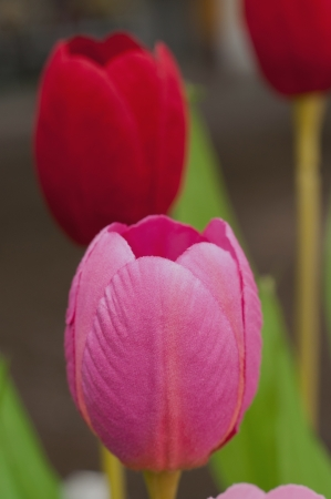 Tulips of the fabric.