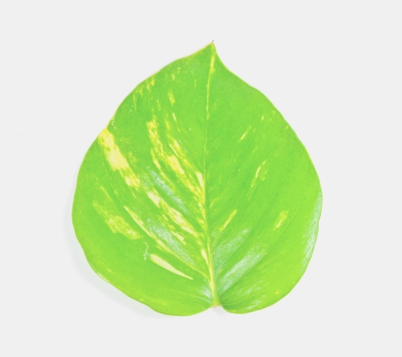 Fresh green leaves on a white background