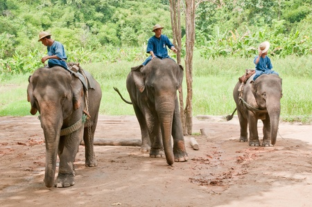 Lampang, Thailand - October 21: Chang Chang Thailand Elephant Conservation Center (TECC) the daily activity of the elephant, Asian elephant Thailand on October 21, his 2012 Lampang, Thailand.