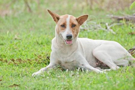 Dog Thailand. Stock Photo
