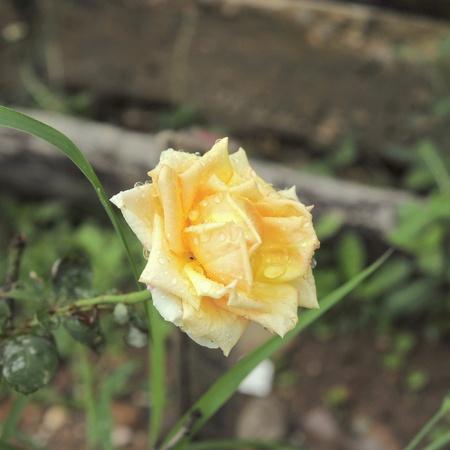 Closeup of yellow roses.